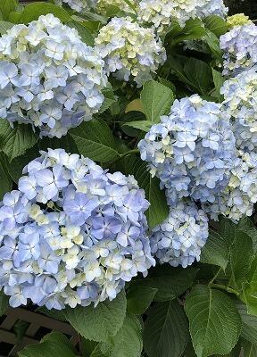 紫陽花に気分を癒されて